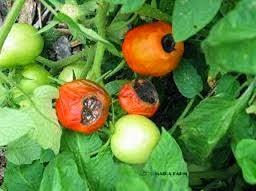 Cara Mencegah, Kekurangan Calcium, Ciri-ciri Tomat, Trik Mengatasi dan mencegah