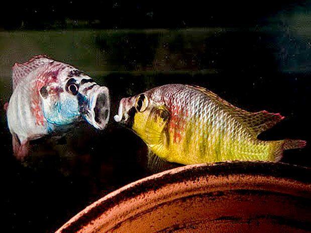 Mesmo sendo proibidas, sabemos que existem as cruéis rinhas de galo e de cachorro. O que eu não sabia, é que alguns peixes também são levados à rinhas.  Esses são os peixes mais agressivos na defesa de seus territórios, de forma que, para isso, são capazes de matar ou morrer lutando. Mas o oceano é vasto e há espaço pra todos, já nos aquários, a agressividade ganha outras proporções .