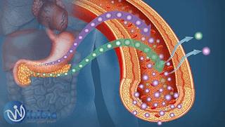 يقوم البنكرياس بإفراز كمية أنسولين تتناسب مع مستوى الجلوكوز فى الدم