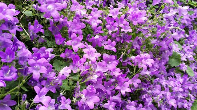 sinikello, sininen kukka