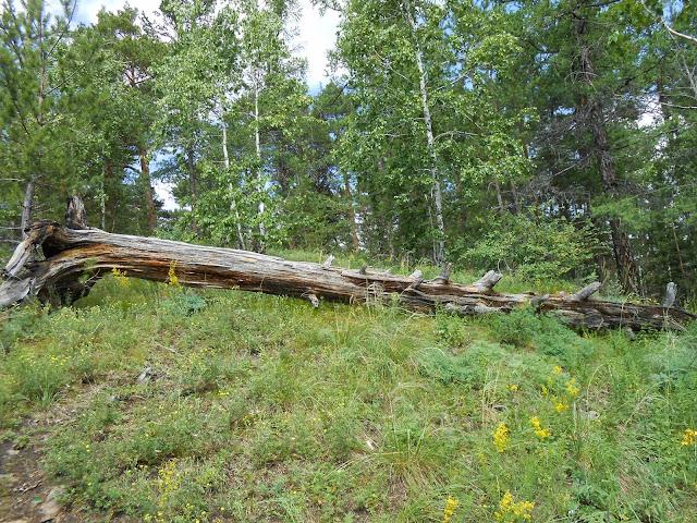 Поваленное дерево в окрестностях горы Сугомак