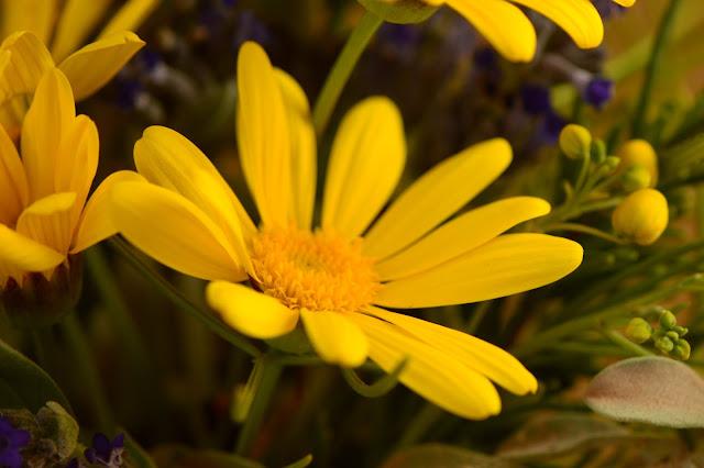 argyranthemum, marguerite, daisy,  desert garden, small sunny garden, amy myers, photography, monday vase