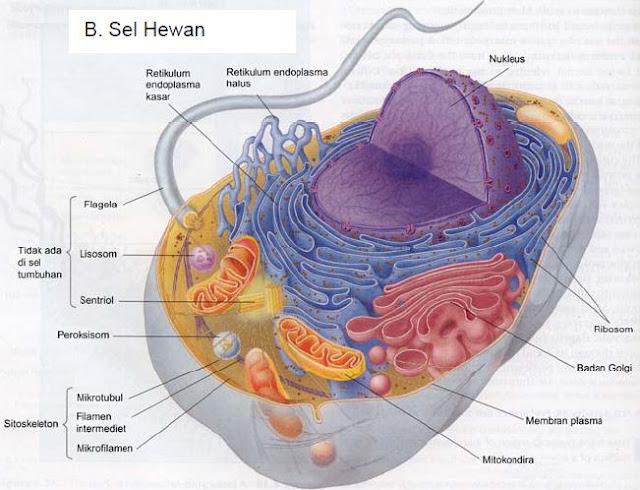 Sel eukariotik dengan organelnya (Campbell et al, 2006).