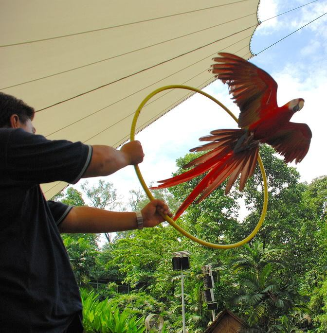 Picture of macaw doing a trick at Jurong Bird Park.