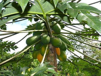 herbal, manfaat akar pepaya, manfaat buah pepaya, manfaat daun pepaya,