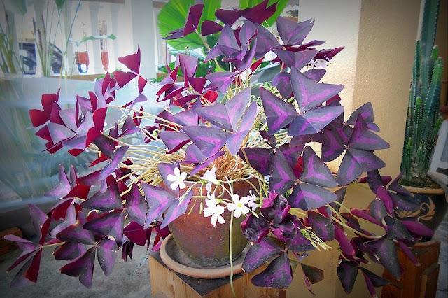Pokok Bunga Daun Rerama Hiasan