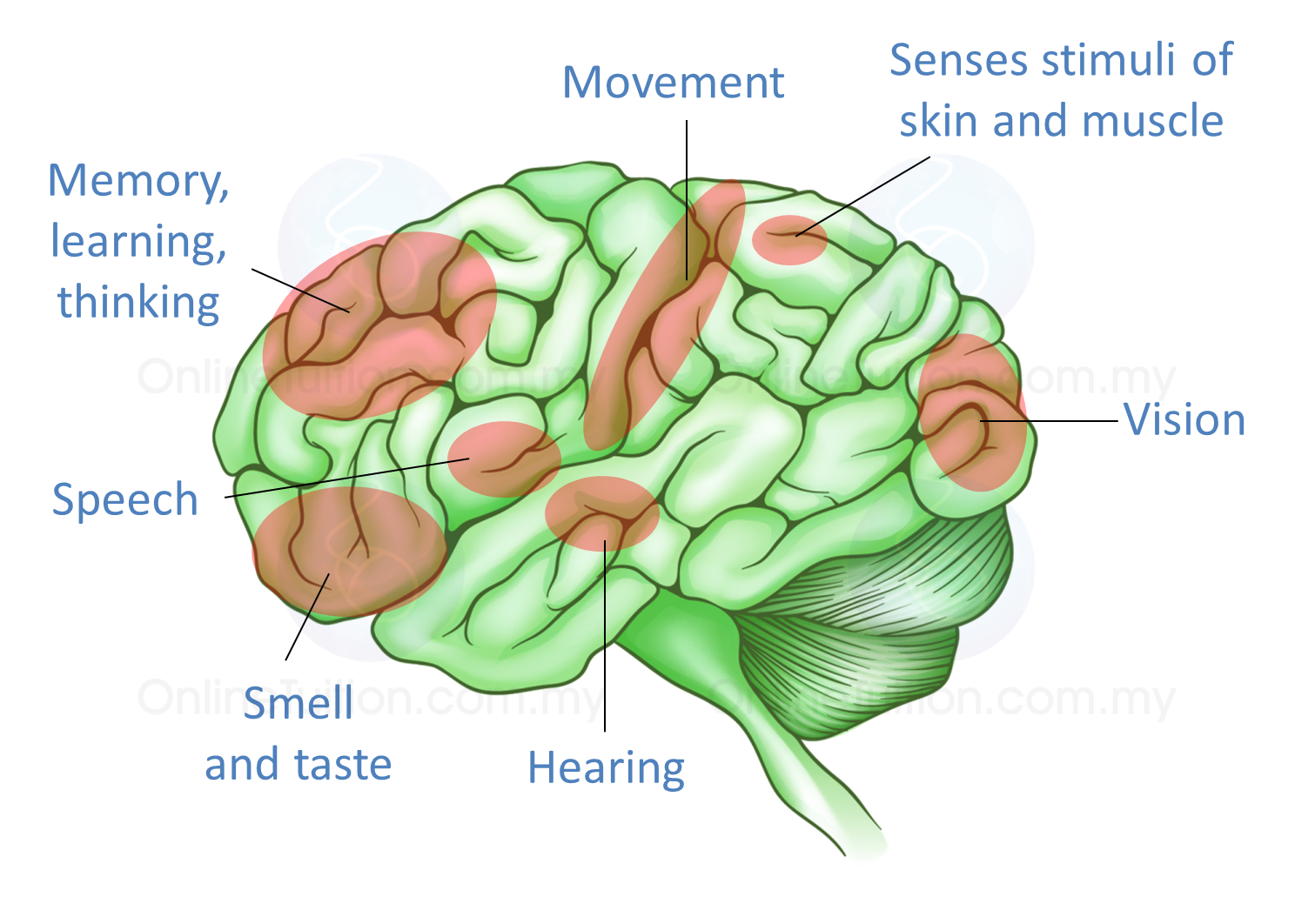 25 the human brain and its complexity spm science 254 the cerebrum and its functions ccuart Choice Image