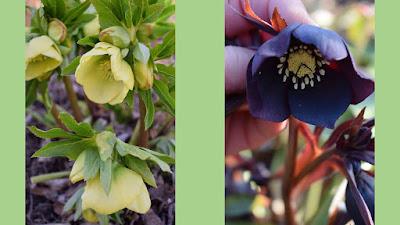 Helleborus x hybridus 'SP Sally', Helleborus orientalis