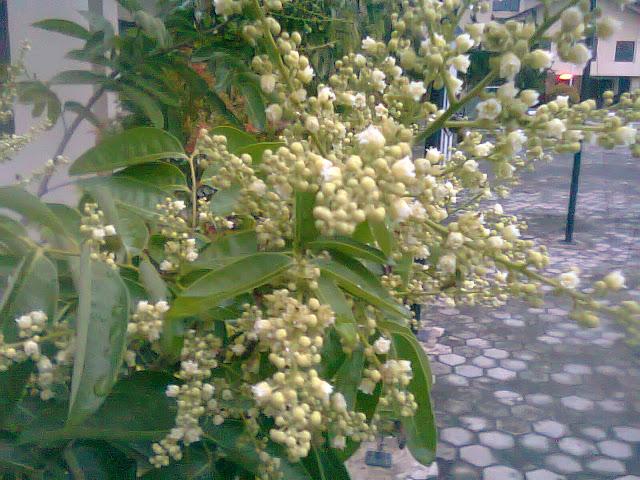 Bunga Kelengkeng Itoh Sangat Lebat