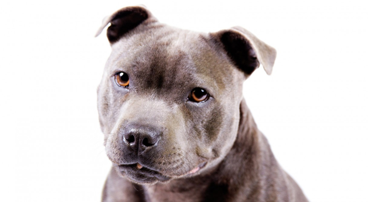 Everything about your Staffordshire Bull Terrier  LUV My dogs