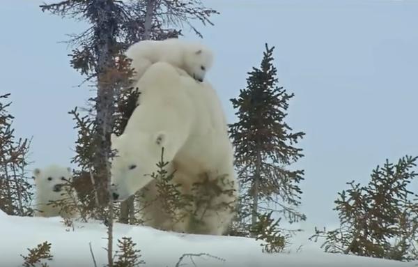 Mama Selalu Tau Yang Terbaik - Photo Beruang dan Anak Beruang