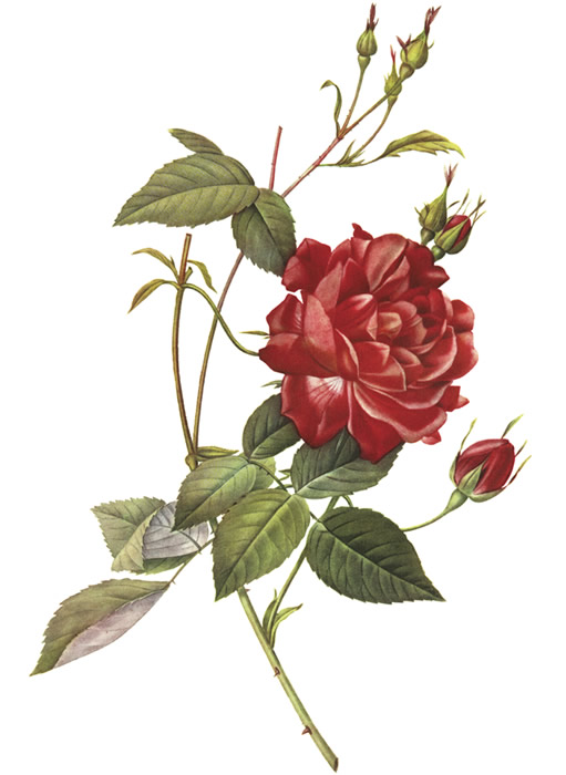 inkspired musings: Rose is the June Flower of the Month