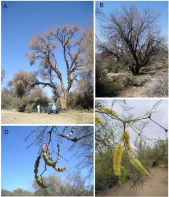 arboles nativos de Argentina Algarrobo dulce Prosopis flexuosa