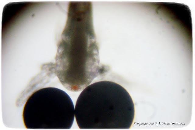 науплиус-цисты-под-микроскопом