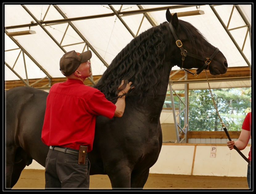 Mathijs, award winning friesian