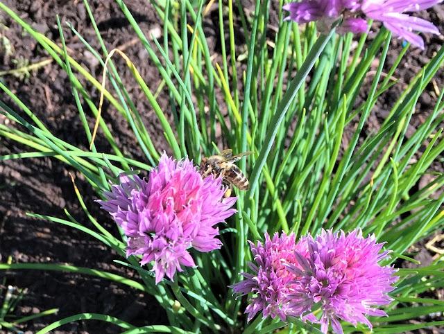 Bienen auf Schnittlauch