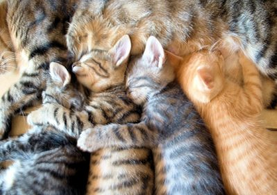 596c0e8dcec9 Πολλά είδη ζουν στην Ασία. Γνωστά είδη γάτας στην Ασία είναι η Περσική γάτα
