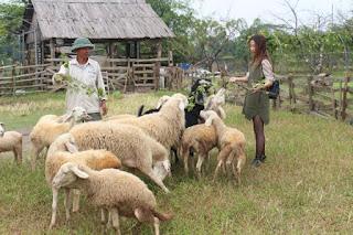 Bán cừu giống Ninh Thuận