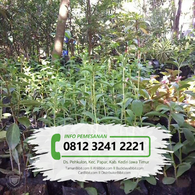 Jual Bibit Herbal Stevia