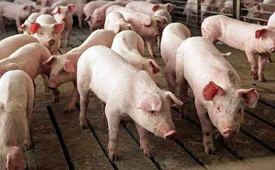 cerdos en cocheras