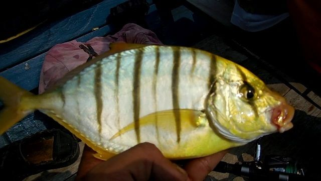 Ikan Kuwe Macan