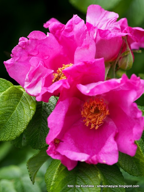 kwiaty rozy, platki roz, konfitura z platkow rozy, konfitura rozana, kwiaty w kuchni, dzem rozany