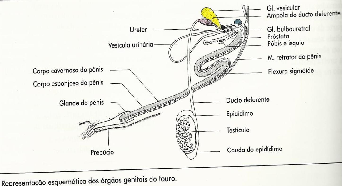 Rosivaldo Delfino Sistema Reprodutor Masculino