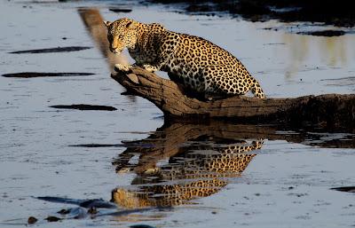 Leopardos Pescadores: Luta Pela Vida - Divulgação