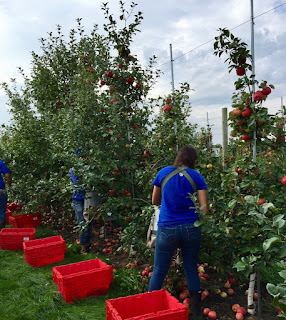 People harvesting apples on dwarf apple trees