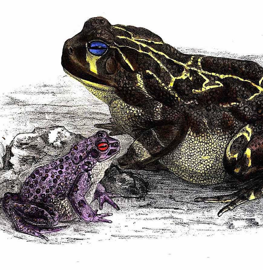 an odd colored frogs color illustration from an 1883 zoological book