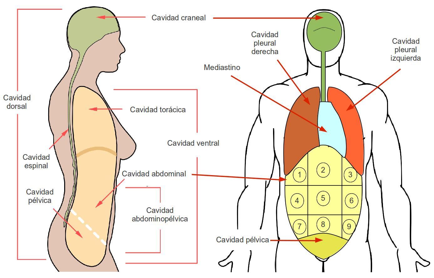 Magnífico Anatomía De La Cavidad Peritoneal Ornamento - Imágenes de ...