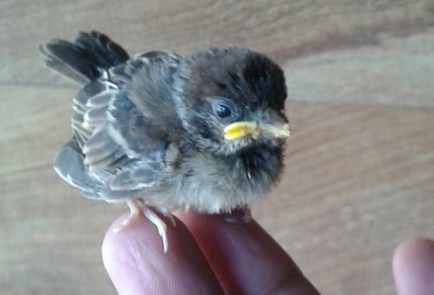 Download 48+ Foto Gambar Burung Gereja Anakan