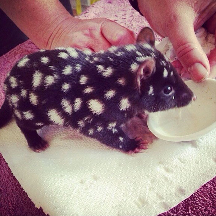 #10 Orphaned Baby Eastern Quoll Being Cared For At Bruny Island - 10 Rare Animal Babies You've Probably Never Seen Before