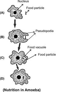 short notes on amoeba , amoeba charcteristics , define amoeba ,NCERT