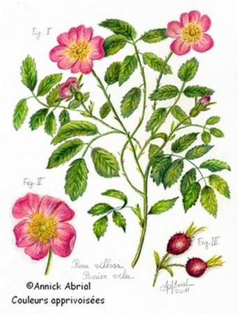 Planche botanique le rosier velu - Dessin de rosier ...
