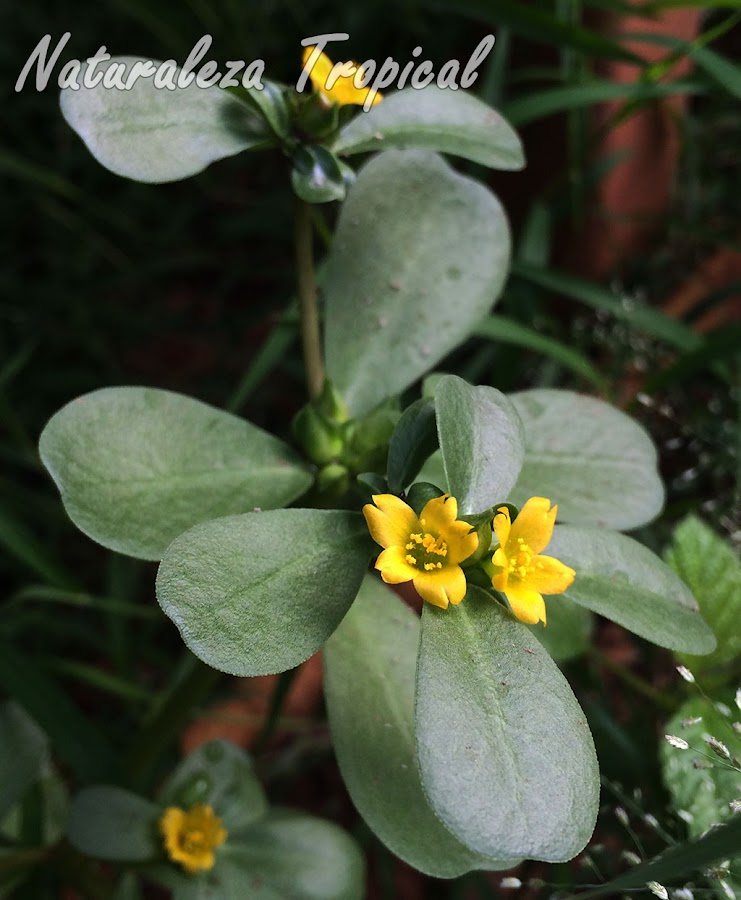 Vista de las hojas y floración típica de la planta suculenta llamada Verdolaga, Portulaca oleracea