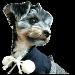 Yorkshire terrier ninja