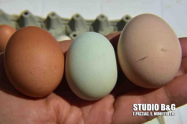Κότες στο Ναύπλιο γεννούν πράσινα αυγά!!! (βίντεο)