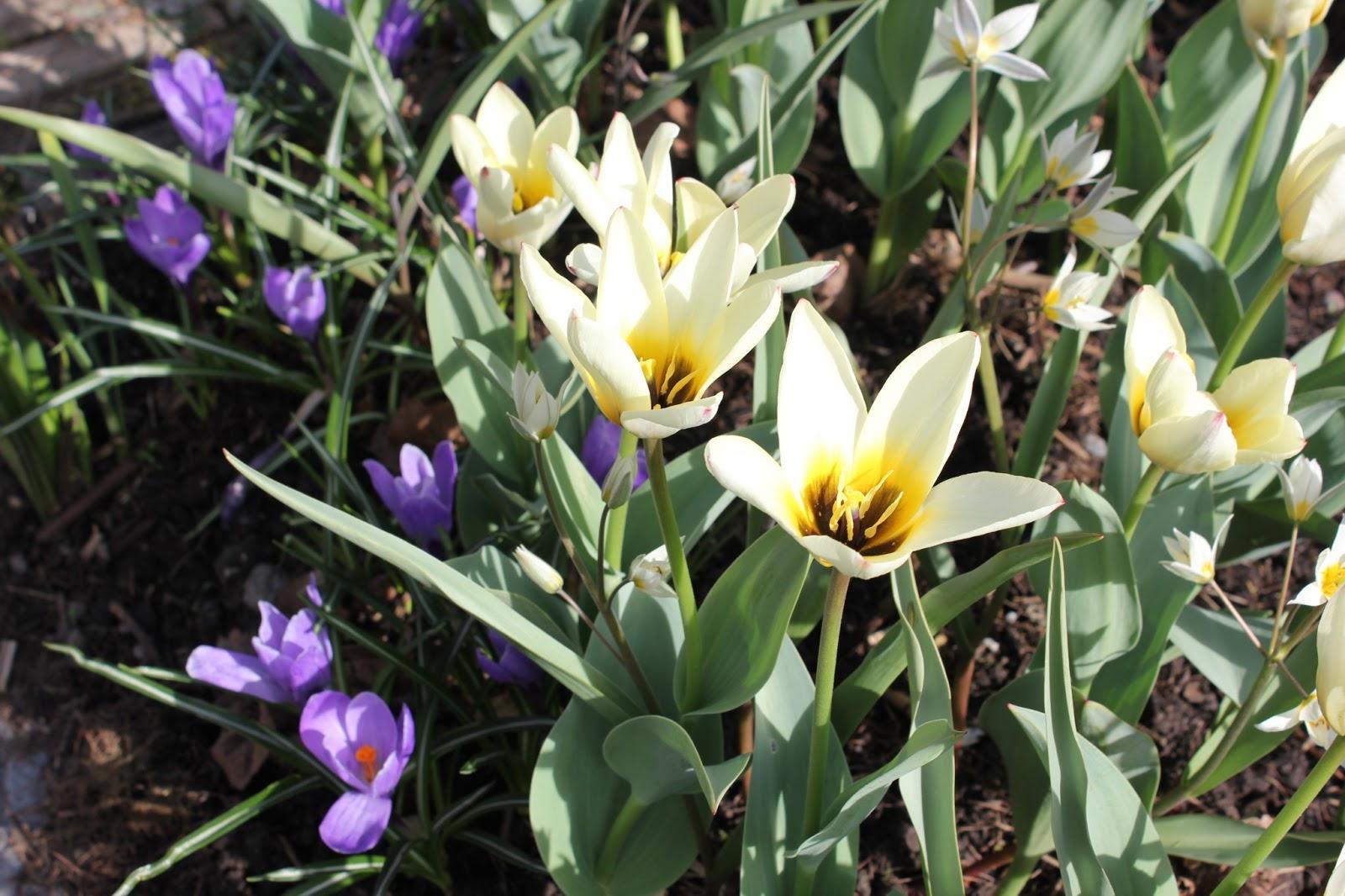 hagen vår: Botaniske tulipaner