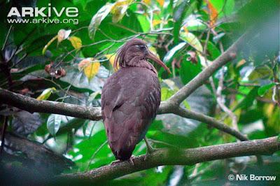 Dwarf Ibis