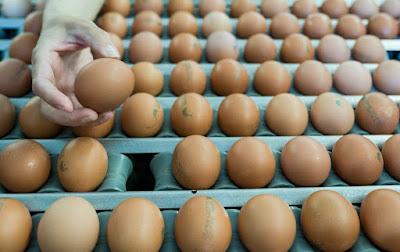 szalmonellás tojás, szalmonella mérgezés, tojás, ételmérgezés, szalmonella-riadó, fertőzött tojás