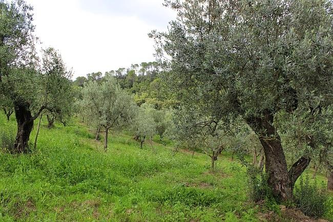 gaj oliwny Toskania