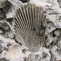 Shell imprint in limestone