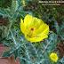 घाव को भर देता है सत्यानासी का पौधा