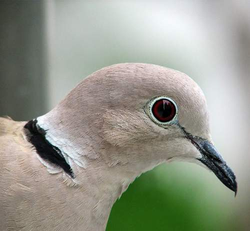 Indian birds - Image of Eurasian collared dove - Streptopelia decaocto