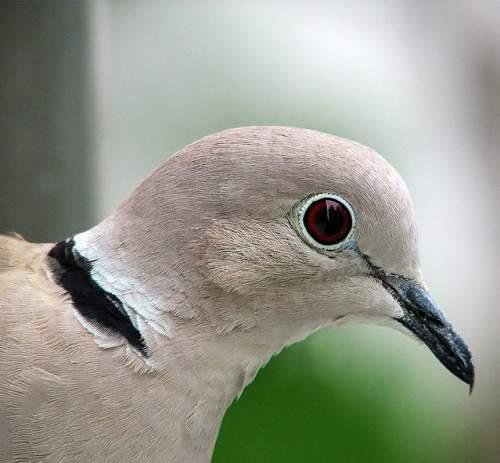 Indian birds - Image of Eurasian collared dove - Streptopelia decaocto
