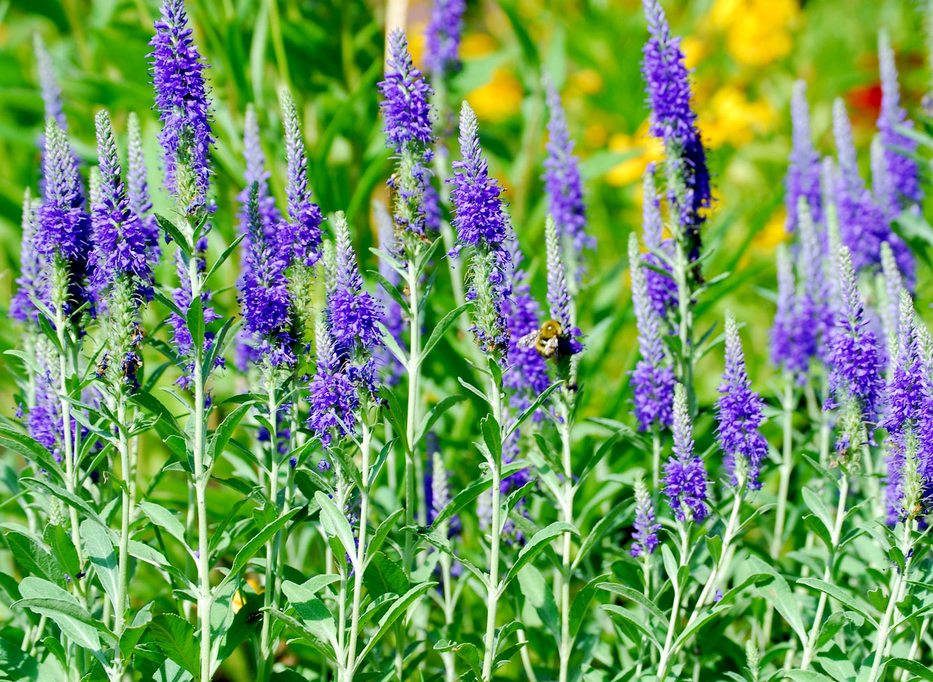 "The tall blooming spikes of ""veronica spicata""."