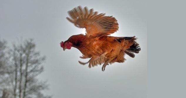 لماذا لا يطير الدجاج