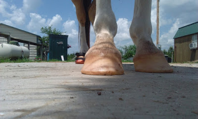 hooves trigger muscle disorder, n/P1 symptomatic, bad hooves trigger pssm horse