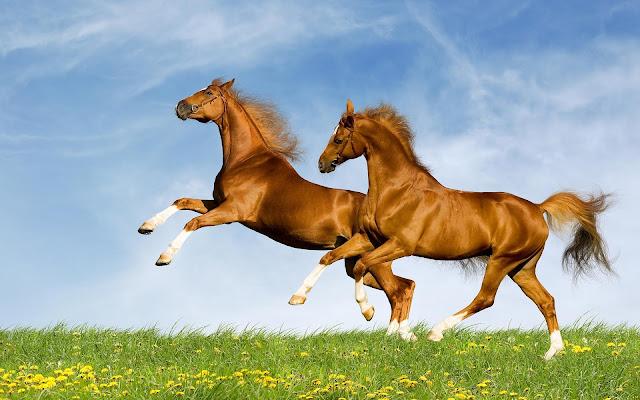 Twee bruine steigerende paarden